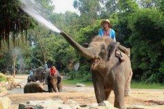 大象为什么怕老鼠:实际上大象不怕老鼠(大象怕寄生虫)