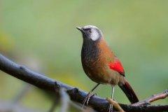 红翅噪鹛:常作为笼养鸟,特征明显(翅膀有鲜红色斑)