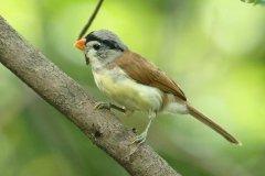 灰头鸦雀:长仅16厘米,性格活泼(在树上频繁跳跃)