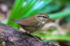 鳞头树莺:叫声似虫叫声,重仅5克(头部有鳞状斑纹)
