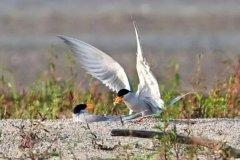 黄嘴河燕鸥:长约37厘米,不常停息(频繁在空中飞行)