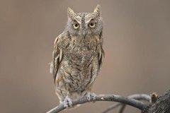 红角鸮:夜行性动物,叫声似蟾叫声(雌鸟叫声比雄鸟高)