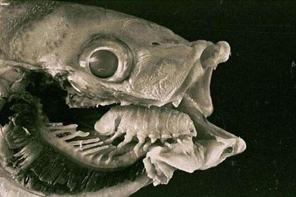 [鱼头怎么做好吃]鱼头惊现外星寄生虫,残忍吞噬替代宿主舌头