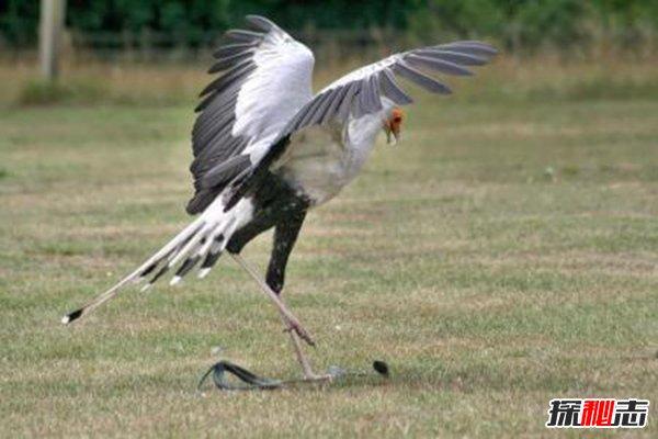 鹰为什么不怕毒蛇,这种动物将眼镜蛇戏耍