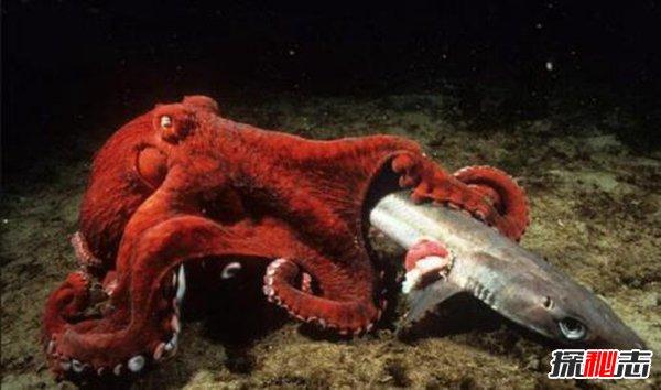章鱼会进化出文明吗,章鱼将会建立自己的帝国