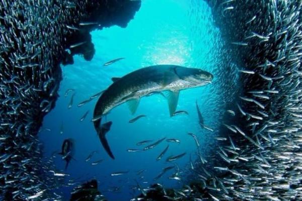 鲶鱼效应来自于渔民的故事 鲇鱼效应是什么意思