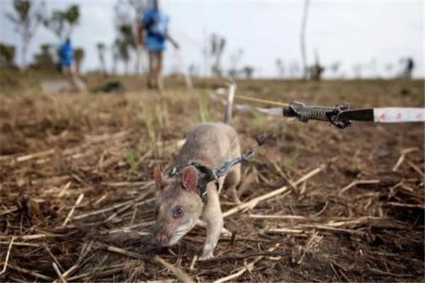 世界上最大巨型老鼠图片
