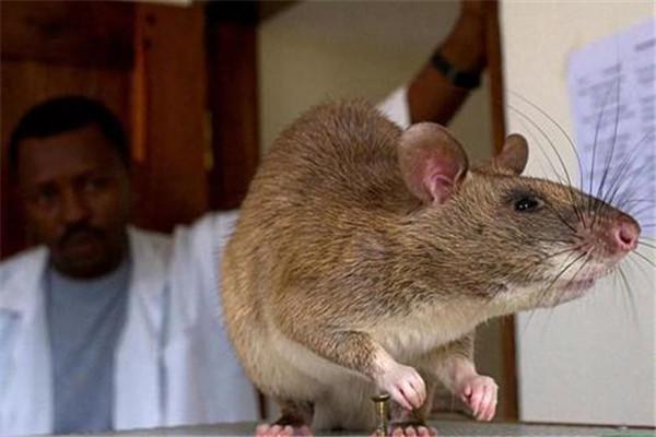 世界上十大最恐怖老鼠图片