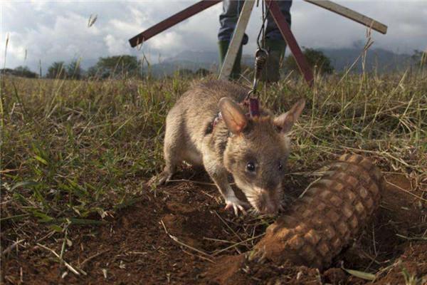 世界上最大的老鼠视频图片
