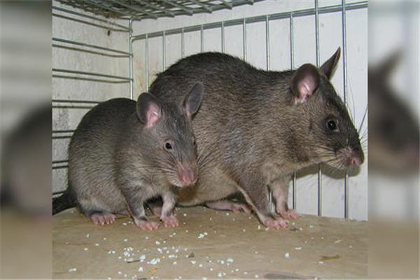 世界上最大的老鼠图片 巨型图片