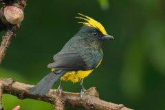 冕雀:叫声似哨音,体色简单且分明(头顶有黄色羽冠)