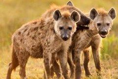斑鬣狗:非洲第二大食肉动物,族群生活(母系族谱支配)
