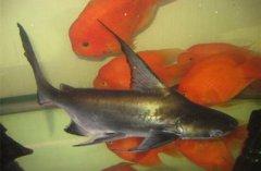 成吉思汗鱼的生活习性 可作为观赏鱼人工饲养