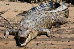 世界现存最大爬行动物:咸水鳄,一口吞掉海龟(10米/2000公斤)