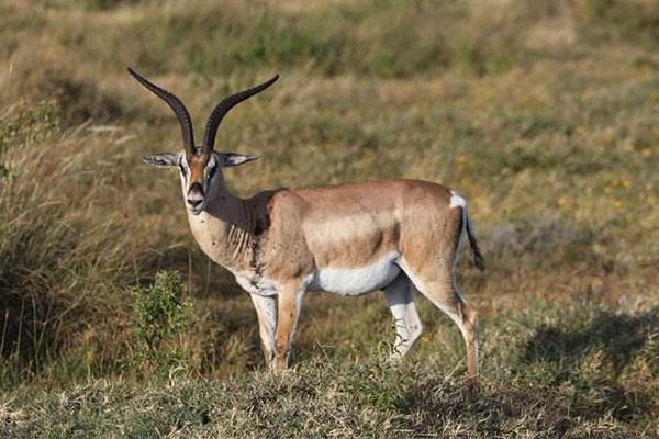 葛氏瞪羚跑得有多快?速度远超狮子(每小时80公里)