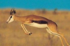 瞪羚是如何奔跑的?四腿离地的跳跃式奔跑(猎豹都比不过)