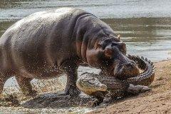河马为什么不怕鳄鱼?一口能刺穿小鳄鱼背甲(75厘米獠牙)