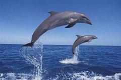 海豚智商是人类的几岁?脑重量堪比人类(相当于6-7岁小孩)