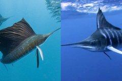 剑鱼和旗鱼谁快?海洋最快的短泳选手(最高时速190公里)