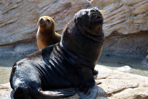 海狮为什么叫海狮?面部长得像狮子而得名(雄性长有鬃毛)
