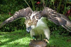 世界上最凶猛的鸟禽,角雕(单抓力50公斤/轻易捏碎猎物)