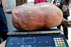 世界上最大的番薯 中国烟台科学院培育的(二十三公斤)