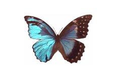 世界上最大的皇蛾蝶 226毫米(翅膀长张开和人手掌差不多)