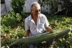世界上最长的黄瓜 长度达1.19米刷新了纪录(英国种植)