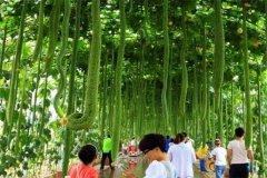 世界上最长的丝瓜 长度超过4米相当让人震惊