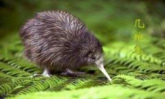 几维鸟灭绝了吗,几维鸟为什么濒临灭绝?