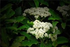 石楠花为什么叫最污花?它散发出的味道令人脸红