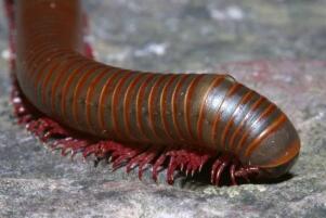 世界上腿最(zui)多的(de)動物,千足蟲有750條腿(身長只有3厘(li)米(mi))
