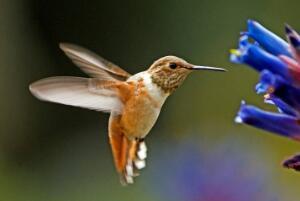 世界上最(zui)小的(de)na)衽pai)名,蜂鳥最(zui)輕只有2克/闊嘴(zui)鳥身長7厘(li)米(mi)