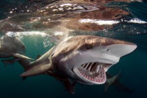 鲨鱼是牙齿最多的动物吗,不是(蜗牛更多有25600颗牙齿)
