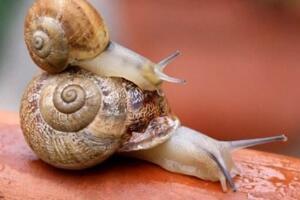 大蜗牛粘液有毒吗,无毒(得病三天即死/对植物危害极大)