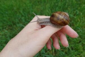 蜗牛爬皮肤上有毒吗,无毒(蜗牛粘液可起美容作用)