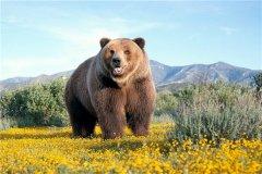 阿特拉斯棕熊:棕熊中的小型物种(分布在摩洛哥地区)