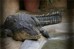 澳洲咸水鳄:爬行动物里的凶猛品种(喜欢吃昆虫)