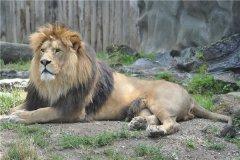 巴巴里狮子:世界上最大的狮子(已经灭绝了)