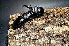 巴拉望巨扁锹形虫:昆虫里的格斗天才(擅长格斗)