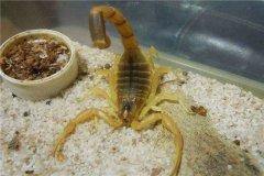 巴勒斯坦毒蝎:世界上毒性最强的物种(尾巴中有毒液)