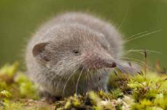 世界上最小的6种哺乳动物:重量只有几克(和手指头比大小)