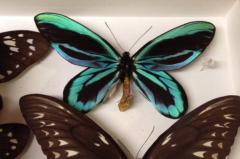 世界上最大的蝴蝶:巨凤蝶,双翅展开31厘米(普通蝴蝶10倍大)