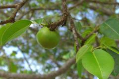 世界上最吓人的树:毒番石榴树,浑身是毒(死亡小苹果)