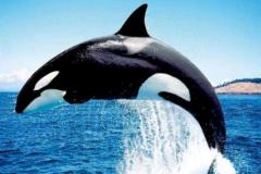 哪种动物没有天敌:虎鲸是海洋霸主(安第斯神鹫空中霸主)