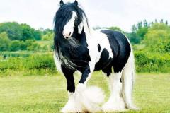 夏尔马为什么不能骑:保护夏尔马的生存(充满梦幻色彩的马)
