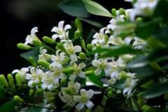 七里香是什么花:花语为做你爱的俘虏(又名木香花)