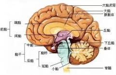 大脑与脊髓的关系:是人体中枢神经(相当于指挥中心)