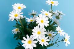 小雏菊怎么养:控制温度、加强湿度、土壤肥沃