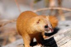 黄鼠狼为什么被称为黄大仙:释放的气体能致幻(吃害虫)
